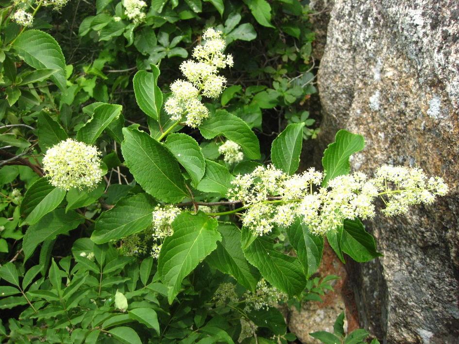 Tout comme les amandes amères d'abricot bio, la capsaïcine, l'armoise annuelle ou les feuilles de Graviola corossol Lei gong teng bio est un anti cancer naturel puissant.