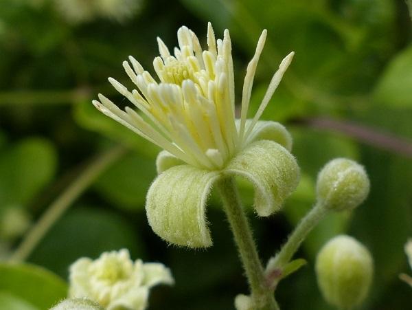 Tout comme les amandes amères d'abricot bio, l'armoise annuelle ou les feuilles de Graviola corossol Lei gong teng bio est un anti cancer naturel puissant.