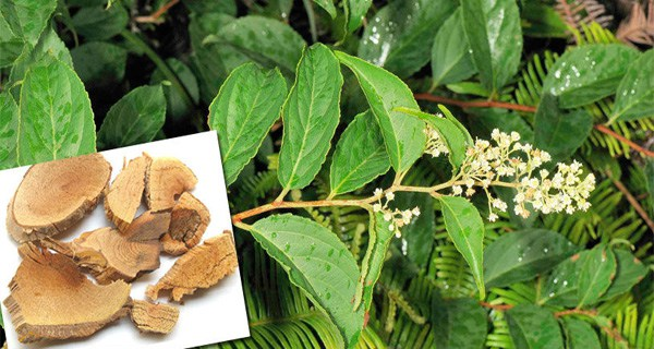 Tout comme les amandes amères d'abricot bio, la capsaïcine, l'artemisia annua ou les feuilles de Graviola corossol la Lei gong teng bio est aussi un anti cancer naturel puissant.