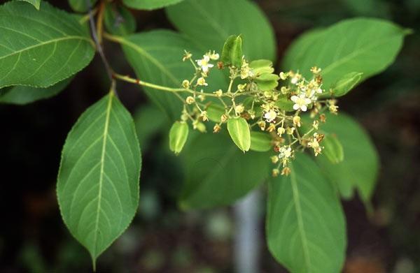 Tout comme les amandes amères d'abricot bio, la capsaïcine, l'artemisia annua ou les feuilles de Graviola corossol Lei gong teng bio est un anti cancer naturel puissant.